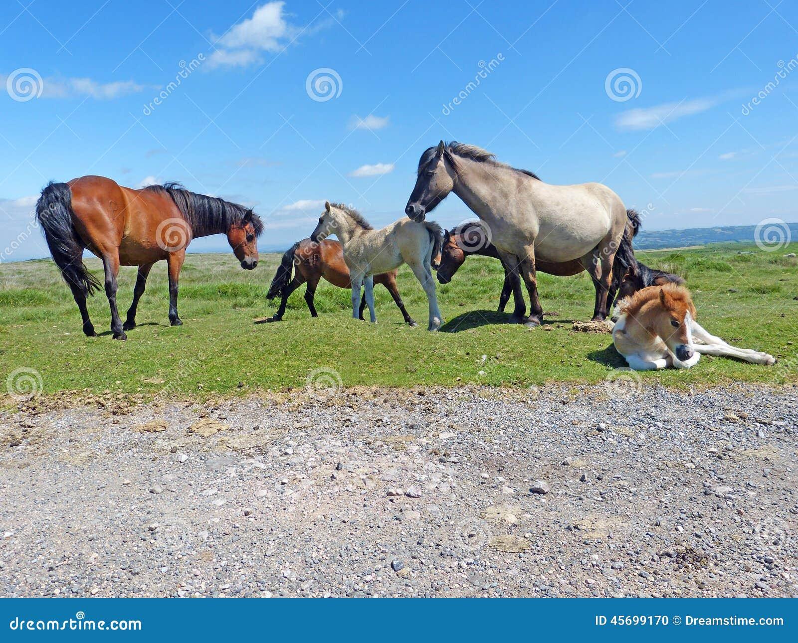 Un gregge dei cavallini di Dartmoor
