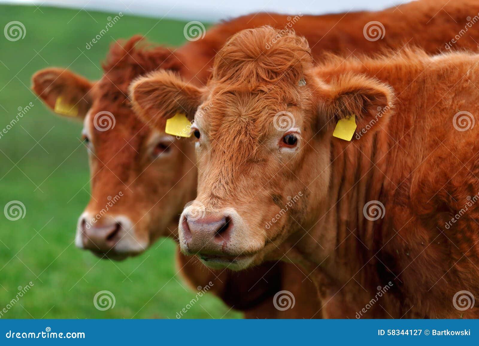 Un gregge delle mucche sul vicolo del prato nell ovest dell Irlanda