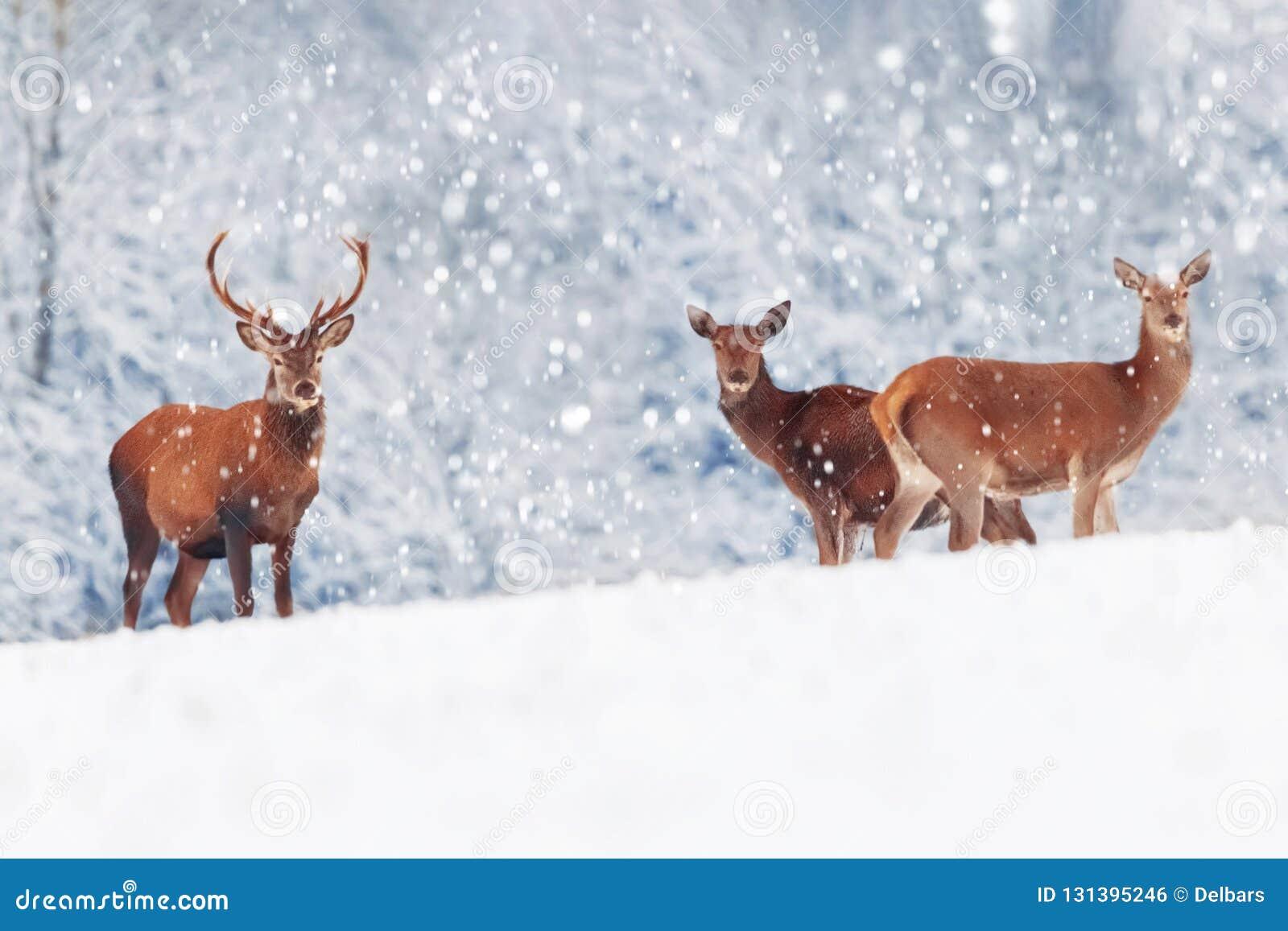 Un groupe de beau mâle et de cerfs communs femelles dans l elaphus noble blanc neigeux de Cervus de cerfs communs de forêt Image