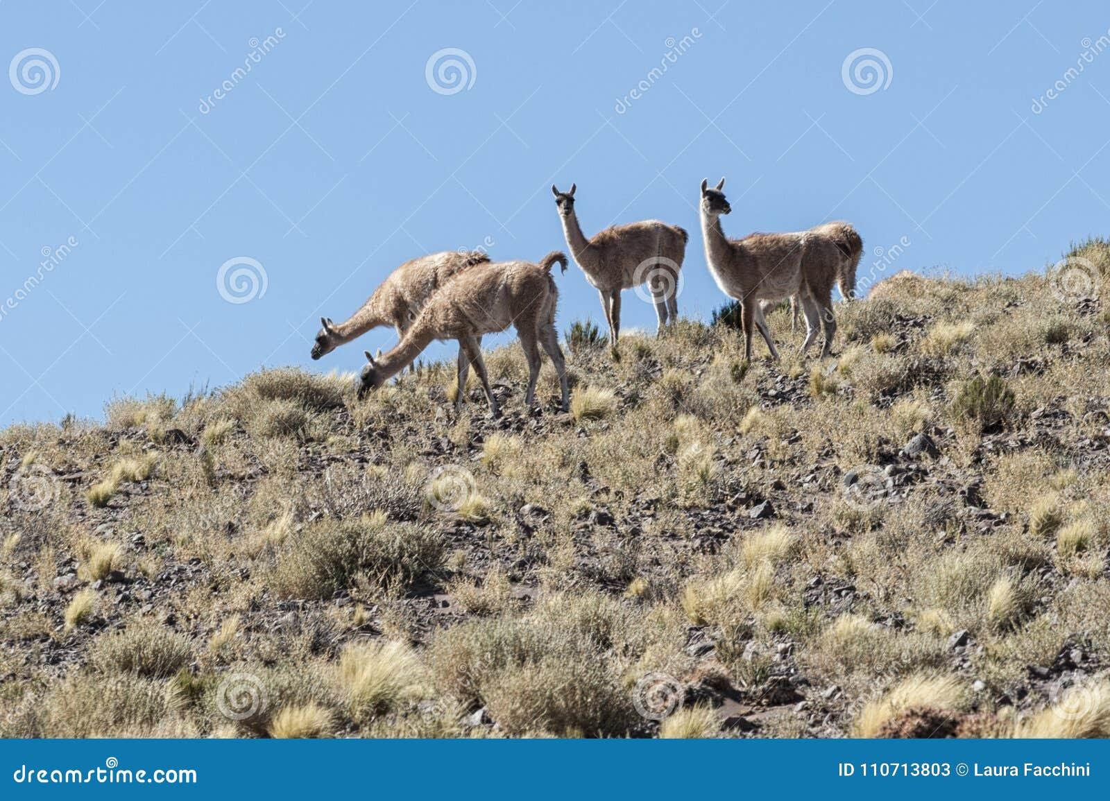 Un groupe de l ancêtre sauvage de vigognes du lama et l alpaga dans le haut altiplano du Chili