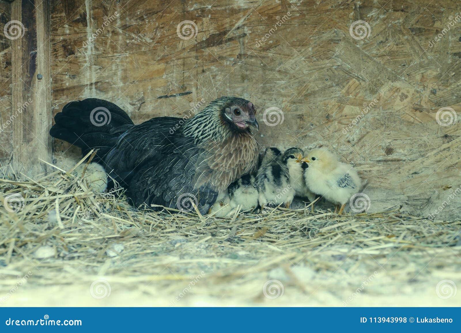 Un groupe de petits poussins mignons marche dans le poulailler Fermez de coloré peu de poulets de jours avec leur mère dans une c