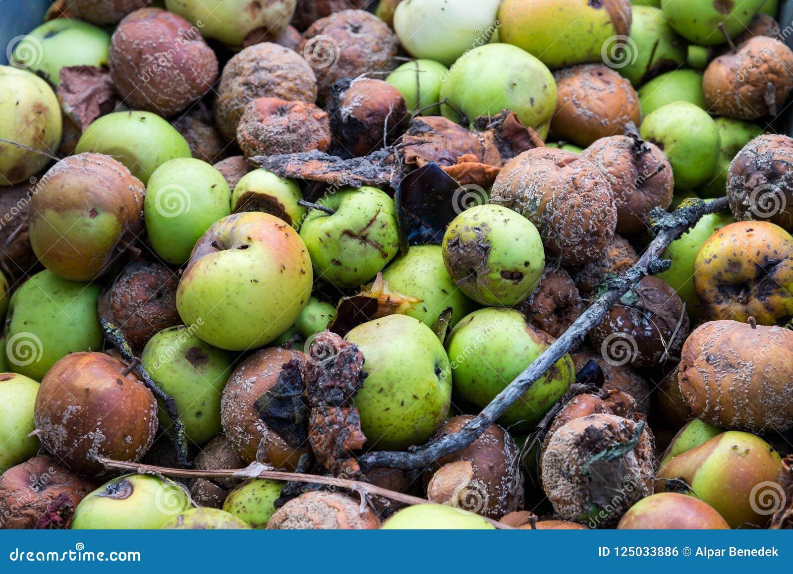 Un groupe de pommes putréfiées dans le jardin