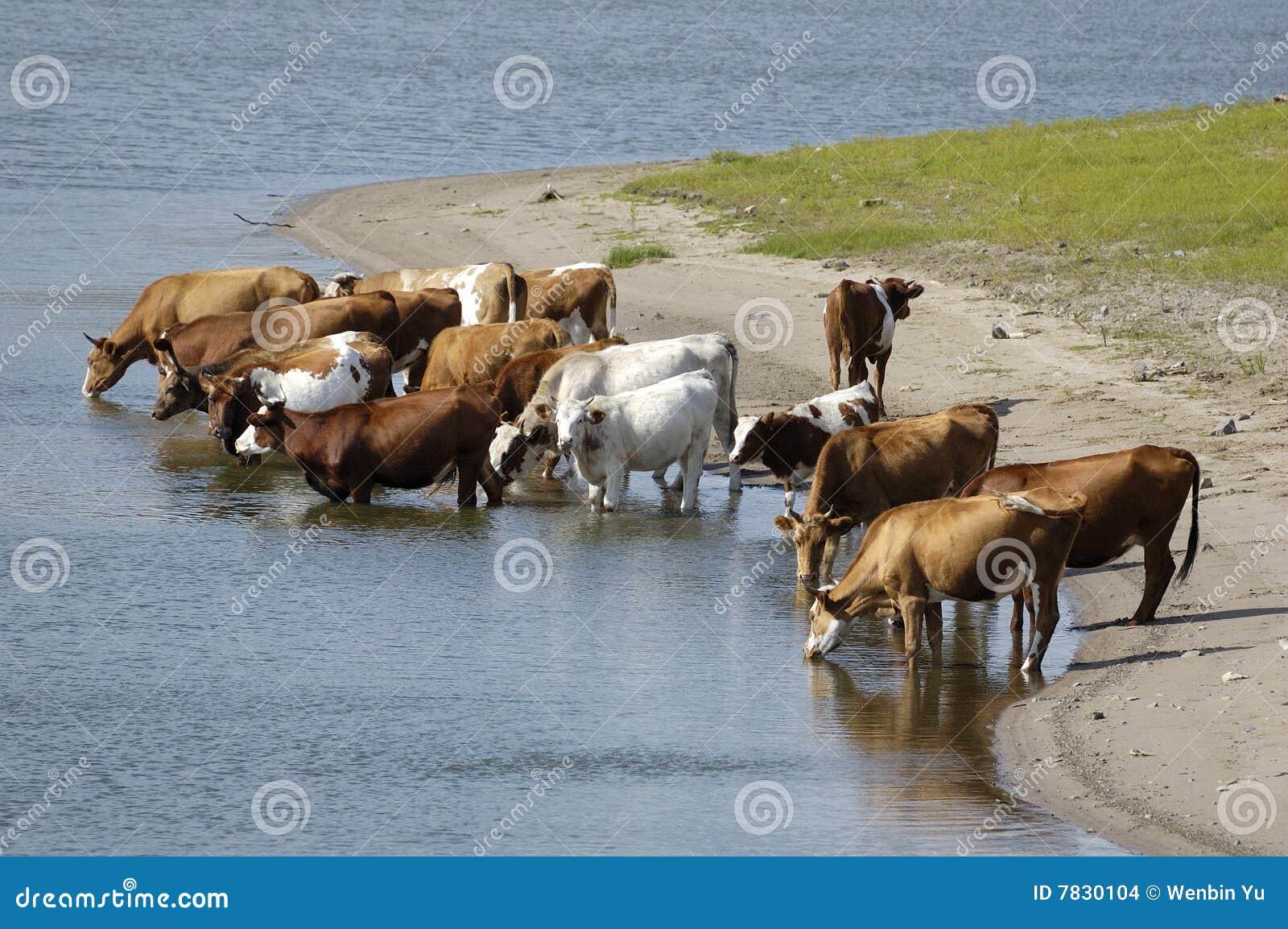 Un groupe de vaches