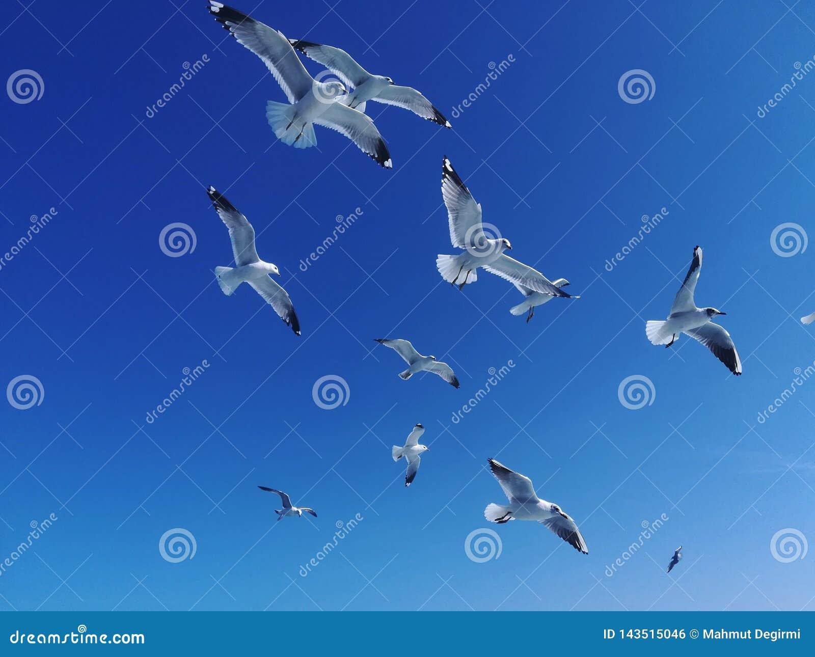 Un grupo de gaviotas blancas está volando