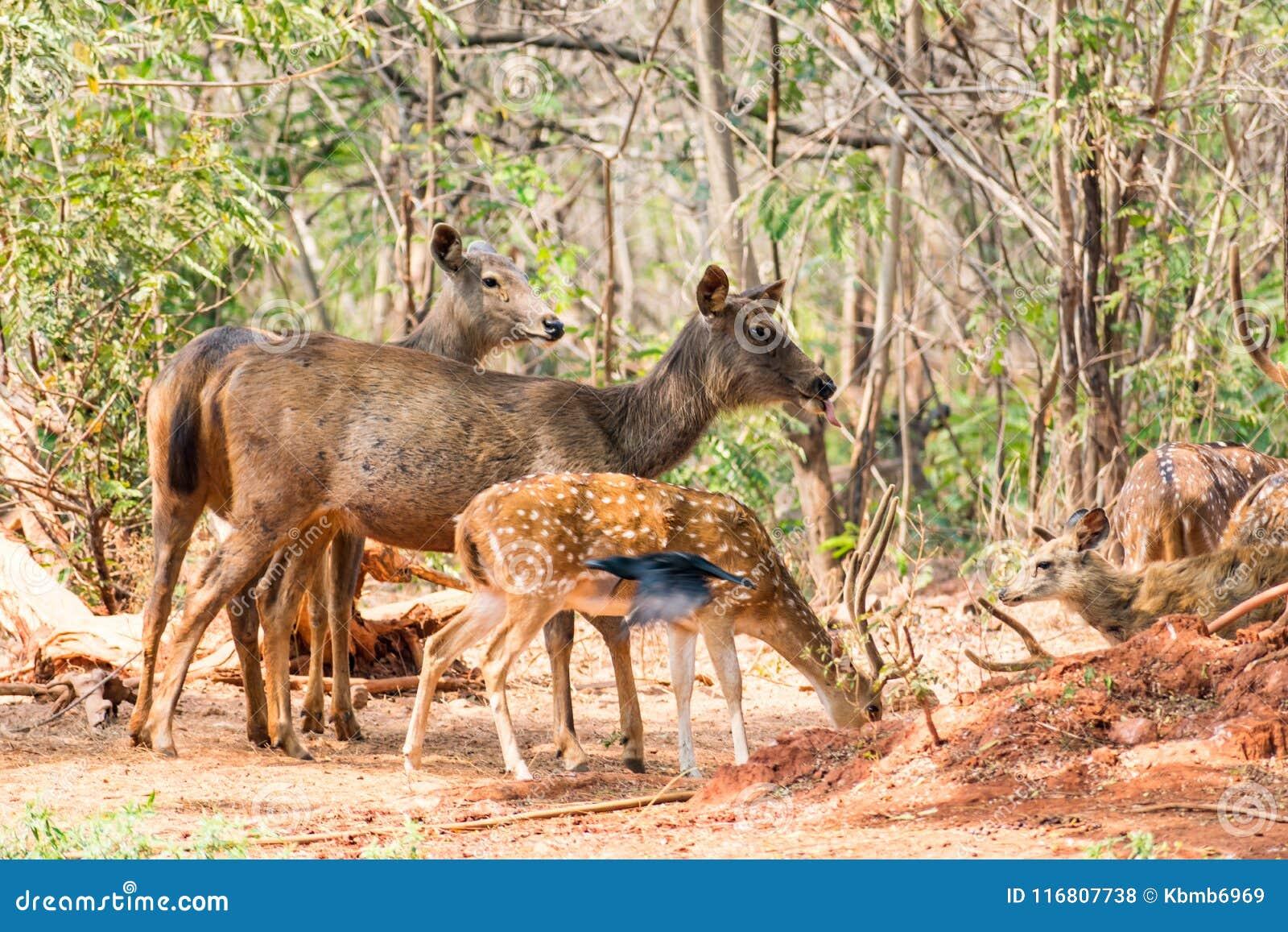 Un gruppo di cervi del sambar che stanno sotto un albero & che guardano nei confronti del visititor