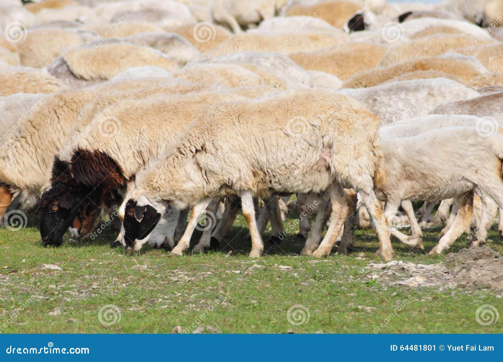 Un Gruppo Di Pecore Al Pascolo Immagine Stock Immagine Di China