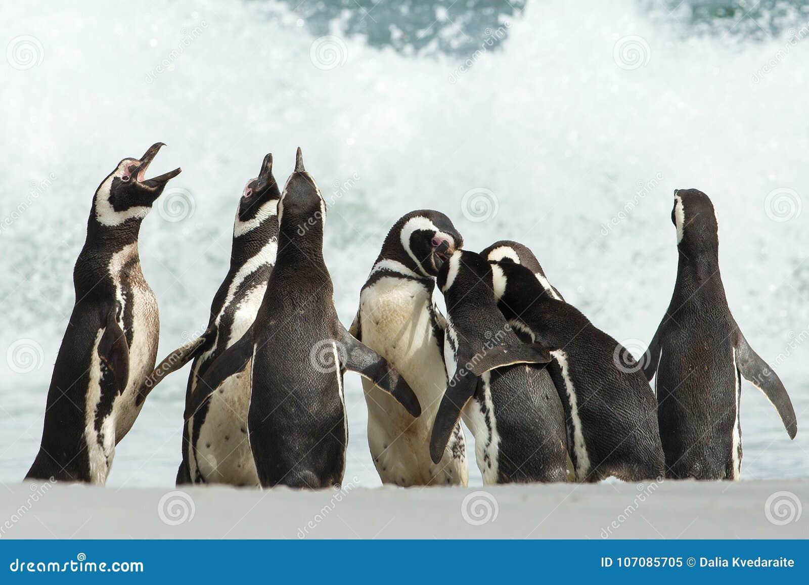 Un gruppo di pinguino di Magellanic si riunisce su una costa del isla di Malvinas