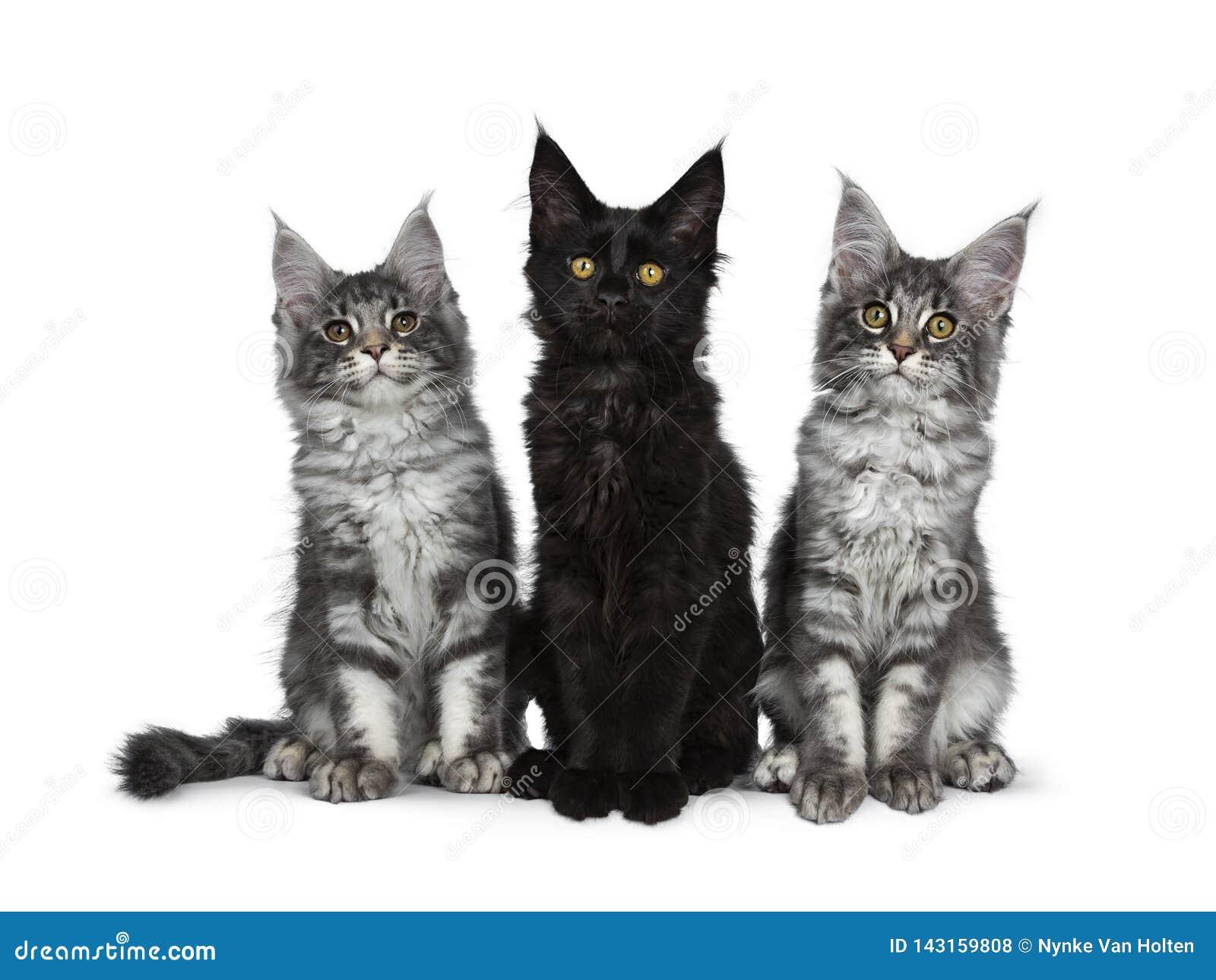 Un gruppo di tre soriani blu/gattini solidi neri del gatto di Maine Coon su fondo bianco
