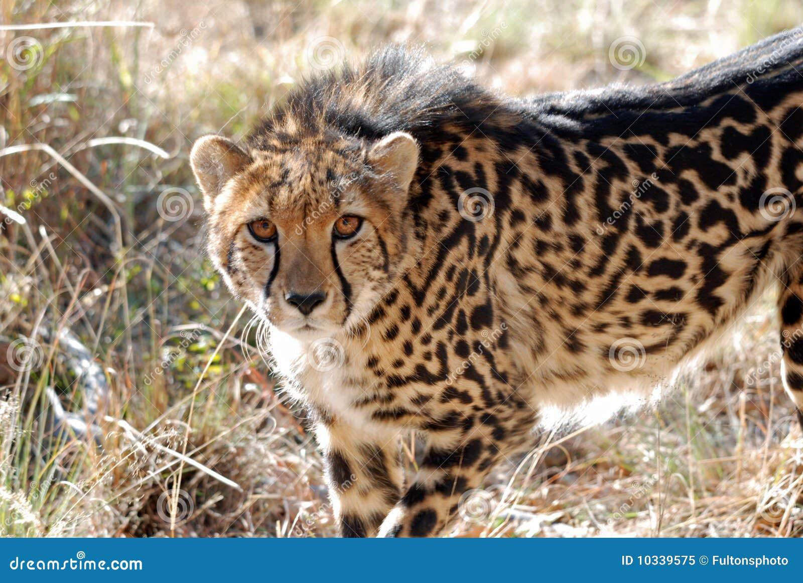 Un guepardo del rey que muestra su modelo único de la capa