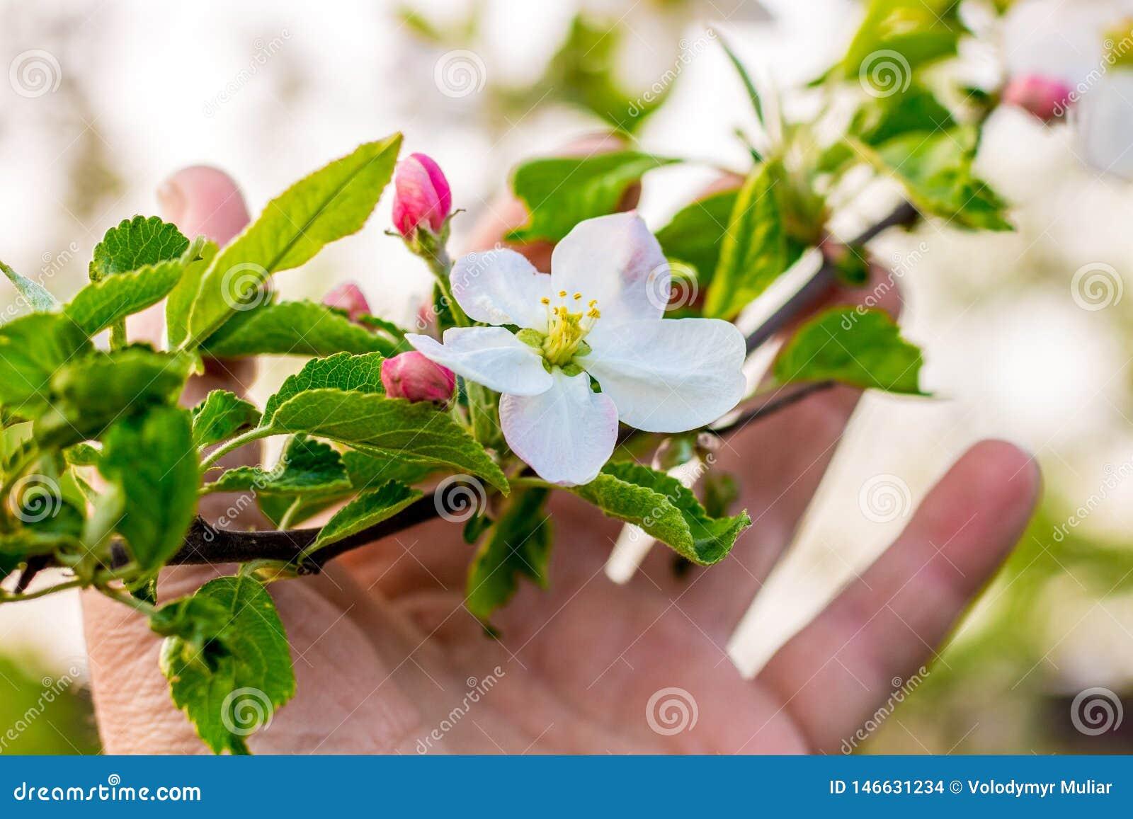 Un homme tient une branche de pomme avec une fleur et des bourgeons dans sa main Admirez le _de ¼ de nature et de flowersÐ