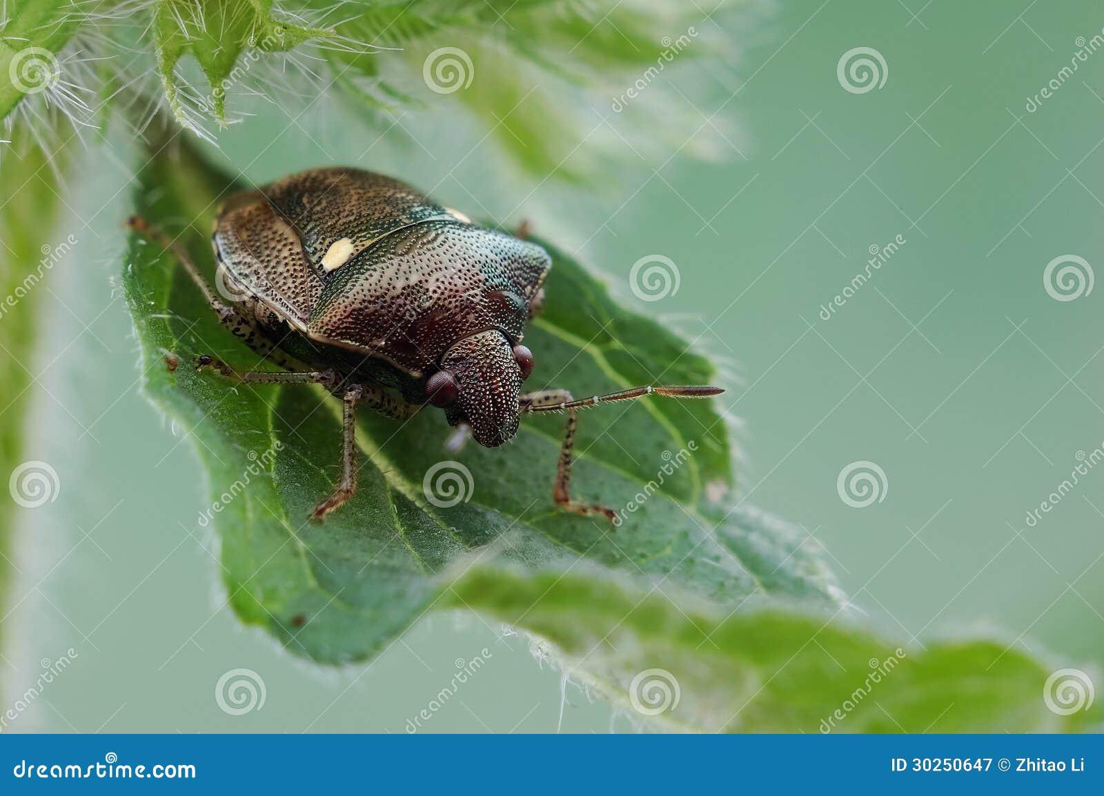 Insecte de puanteur