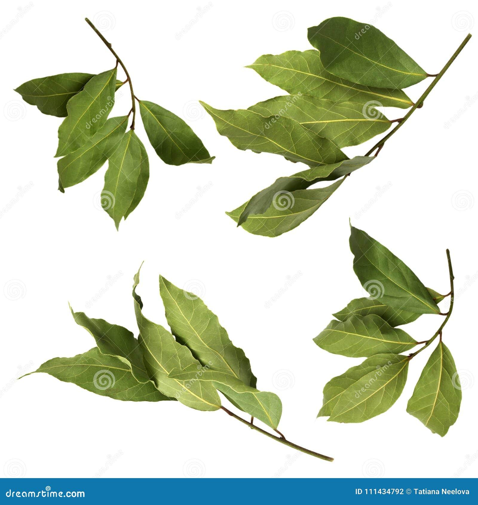 Un insieme delle foto aromatiche verdi secche del ramo della baia, isolato su bianco Ramoscelli dell alloro Foto del raccolto del
