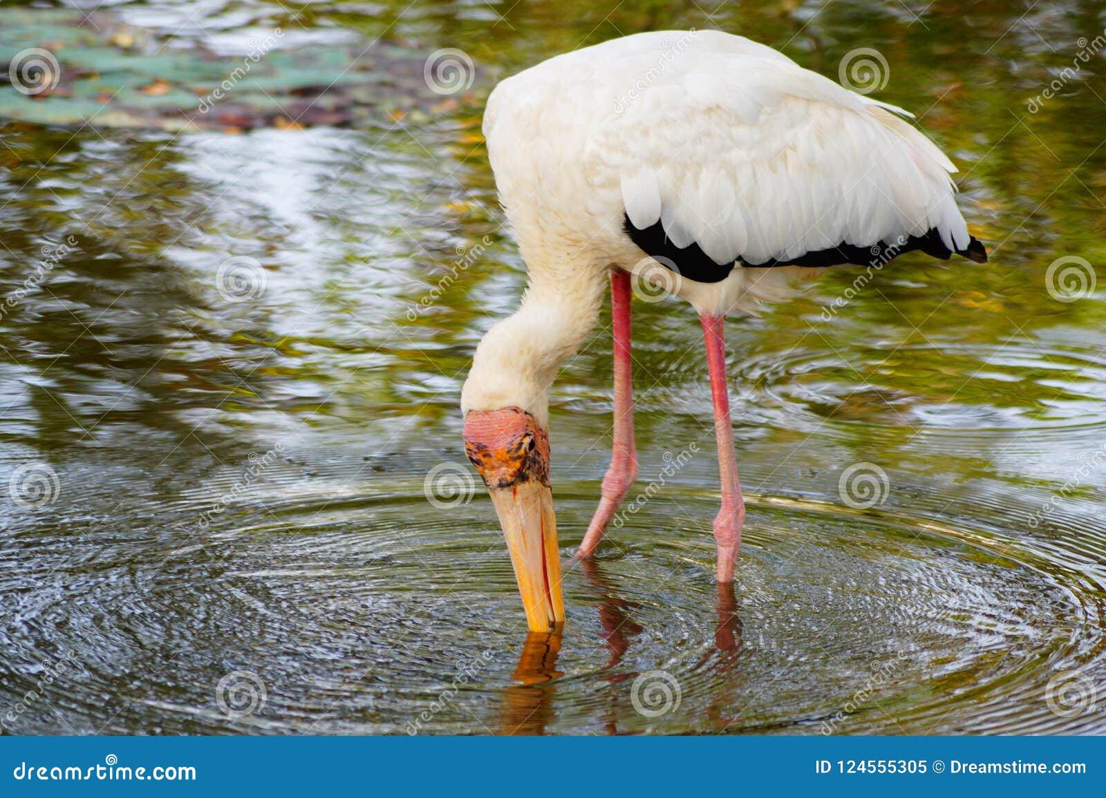 Un intento grande de la natación de los pescados a coger por el pájaro grande