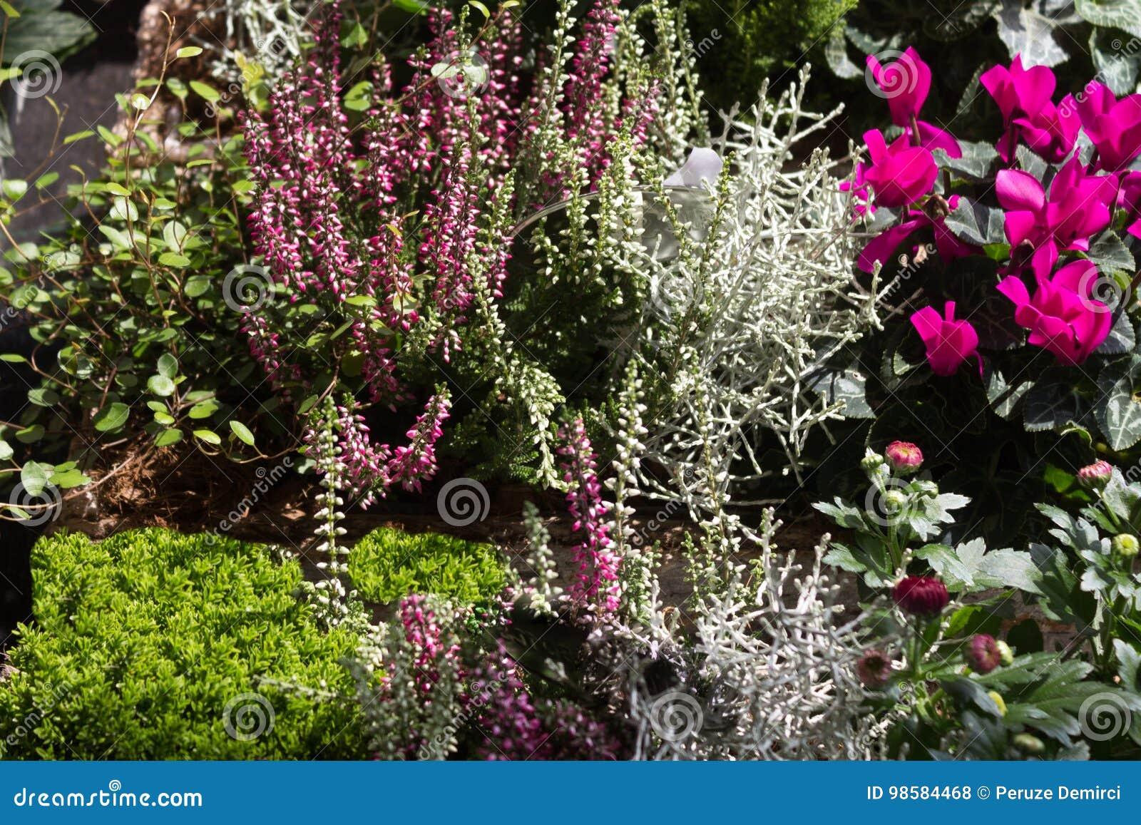 Un Jardin Con Las Plantas Resistentes De Erica Del Invierno - Plantas-de-jardin-resistentes
