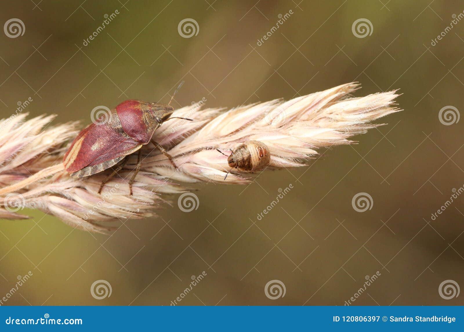 Un joli testudinaria de Shieldbug Eurygaster de tortue étant perché sur une tête de graine d herbe au bord de la région boisée
