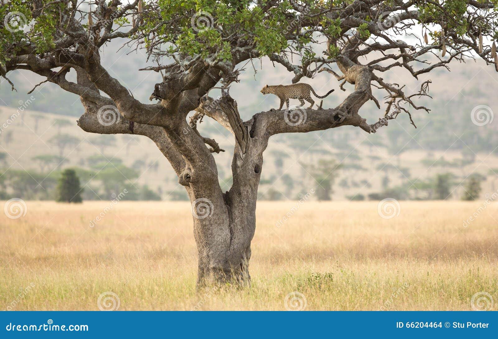 Un l opard africain dans un arbre de saucisse dans le serengeti tanzanie photo stock image - Arbre africain en 7 lettres ...