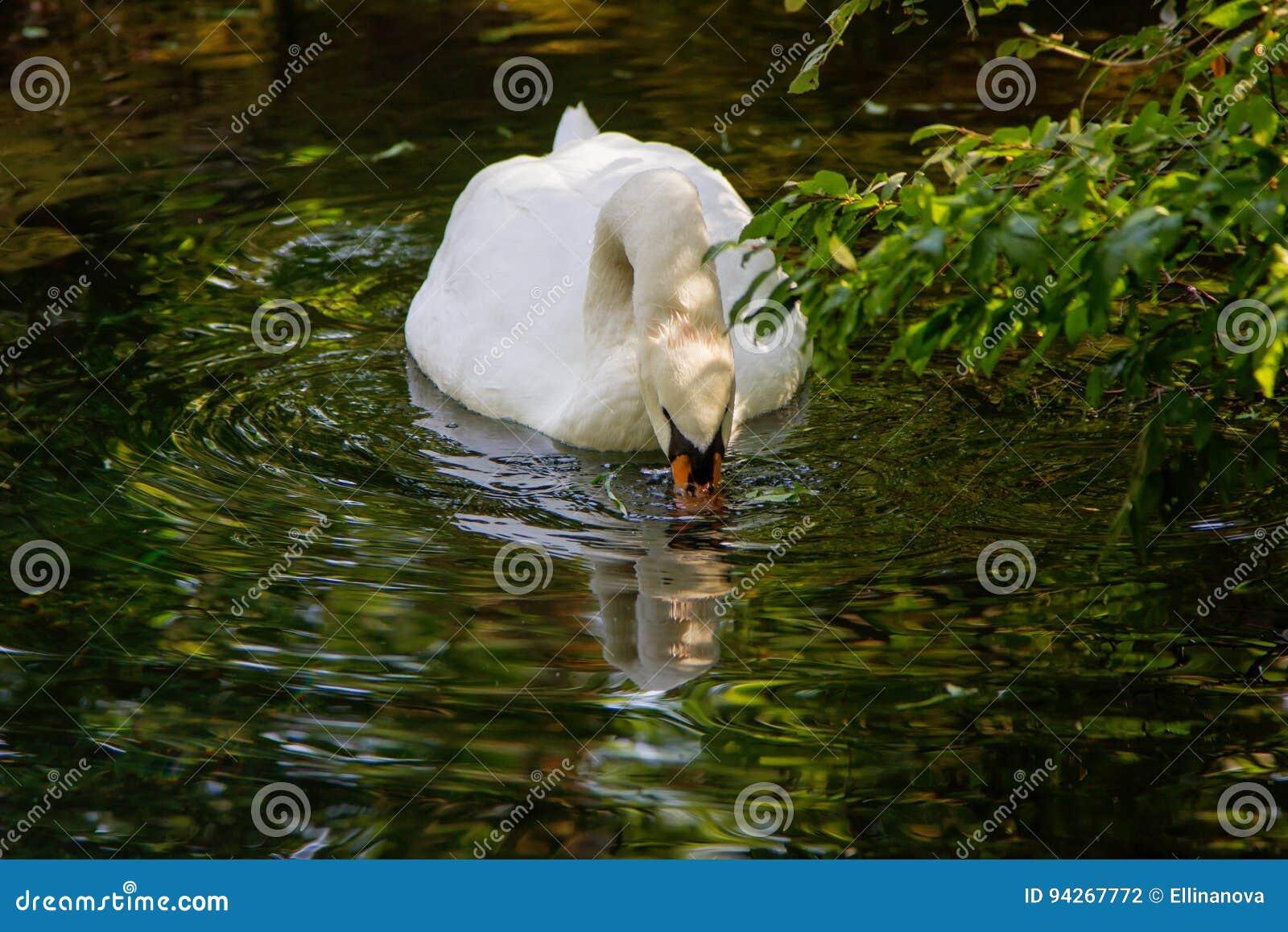 Un lago blanco del cisne bebe el agua