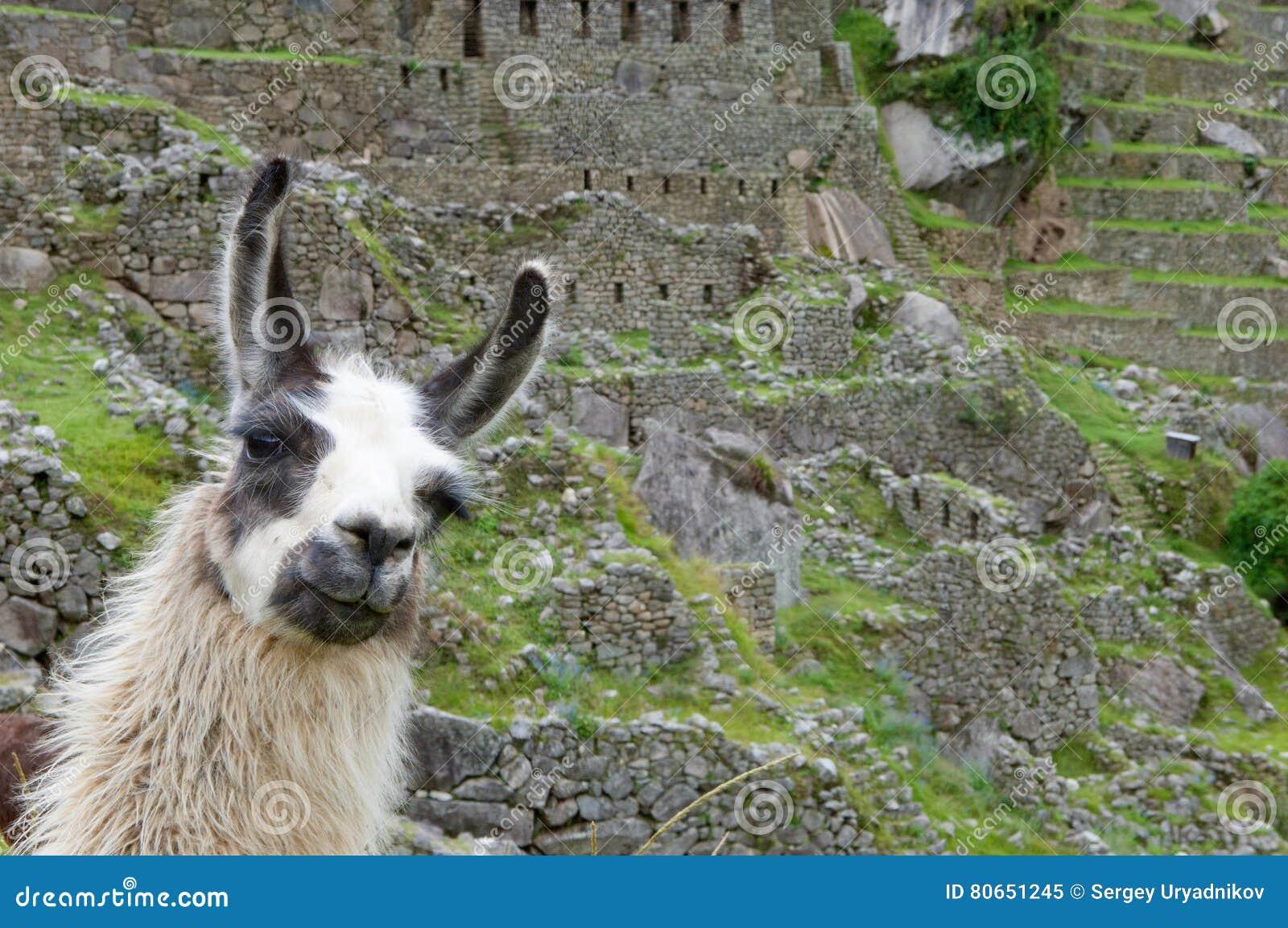 Un Lama Frôlant Dans Une Terrasse Avec Machu Picchu Et