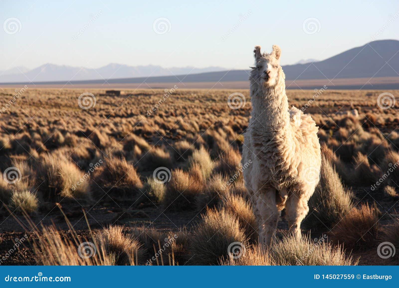 Un lama mira en la lente en el Altiplano en Bolivia