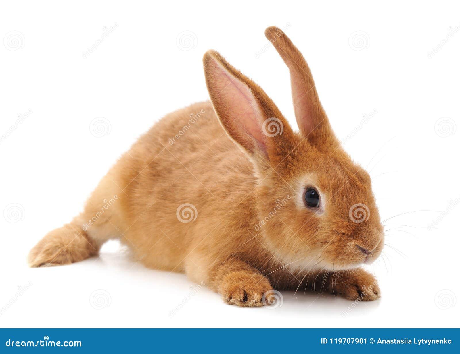 Un lapin brun