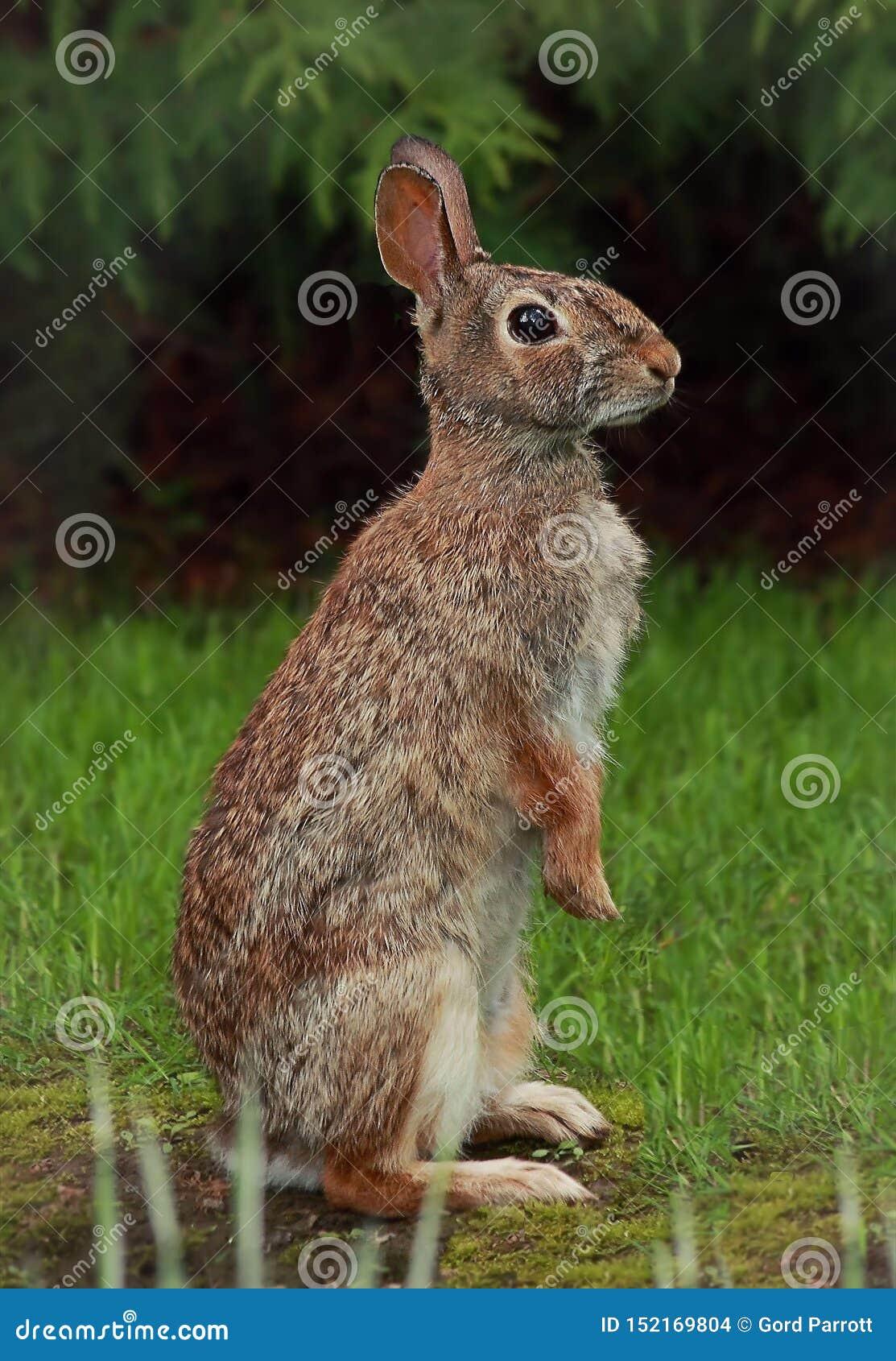 Un lapin de lapin vigilant
