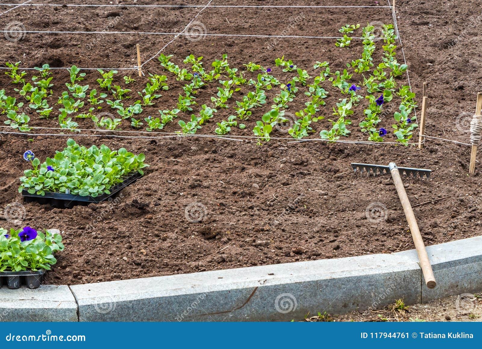 Un lavoro sulla piantatura delle piantine dei fiori variopinti viola sull aiola e sul rastrello in un parco in primavera