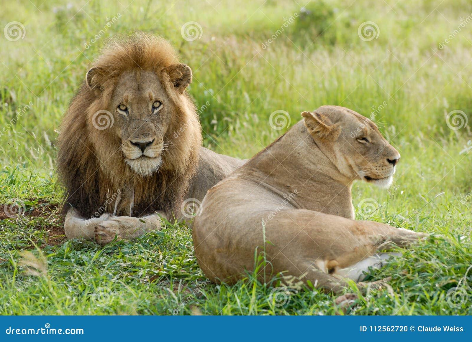 La melena del leona