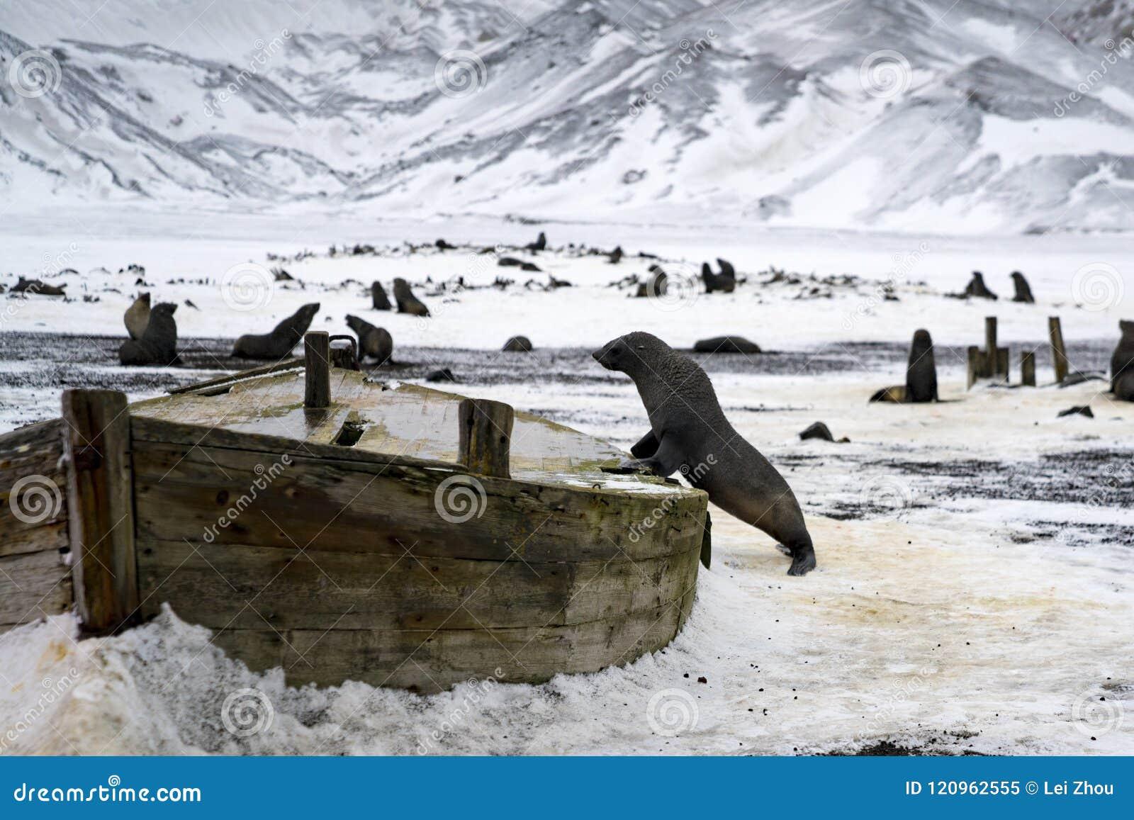 Un león marino en los restos de una nave de madera