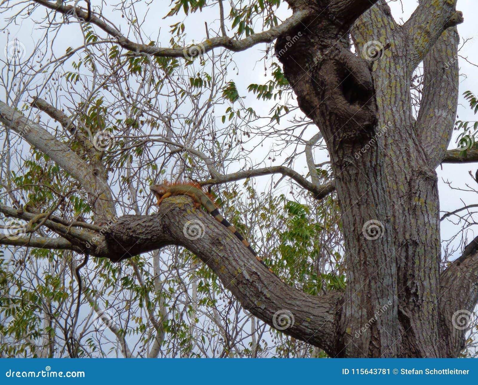 Un leguan verde sta raffreddando all albero