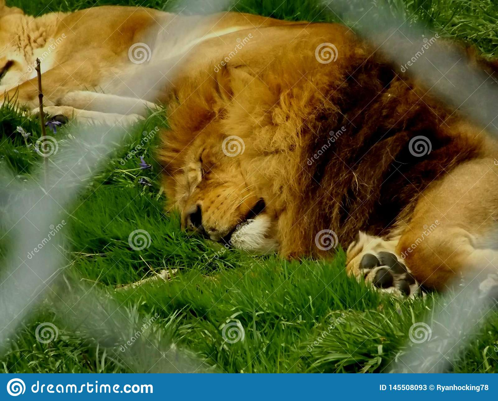 Un lion fatigué dormant au zoo