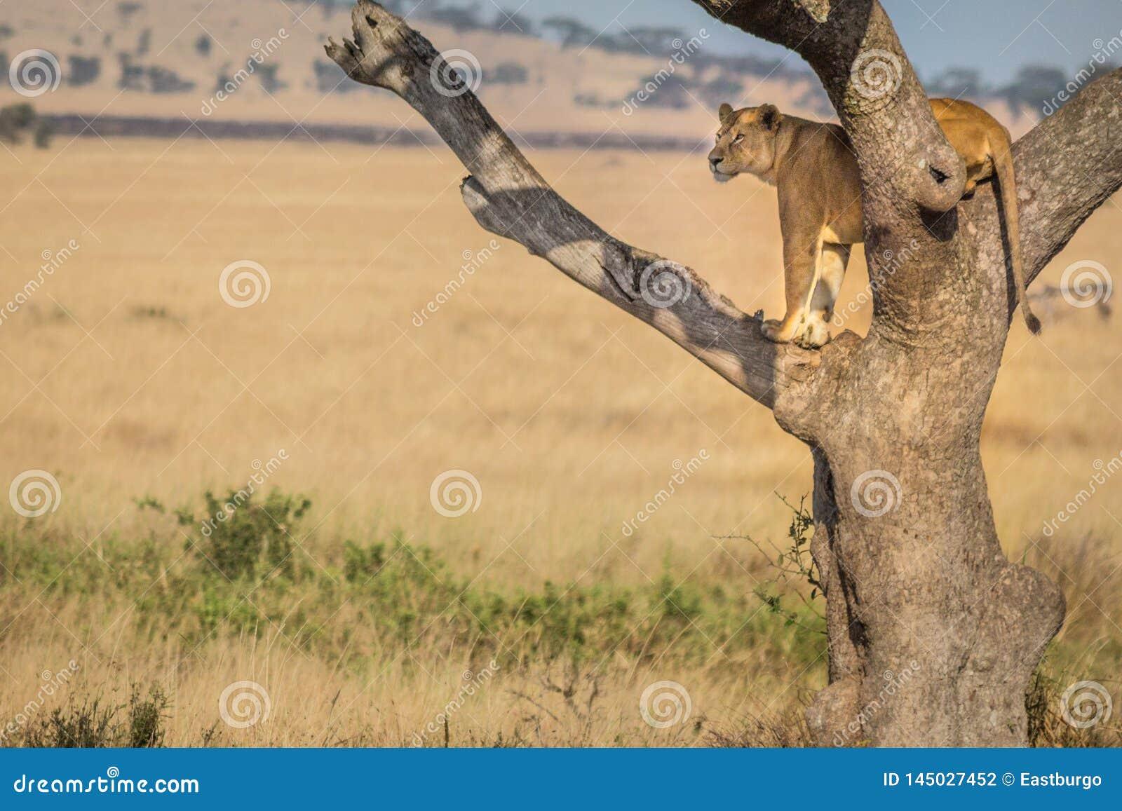 Un lion femelle tient la montre dans un arbre