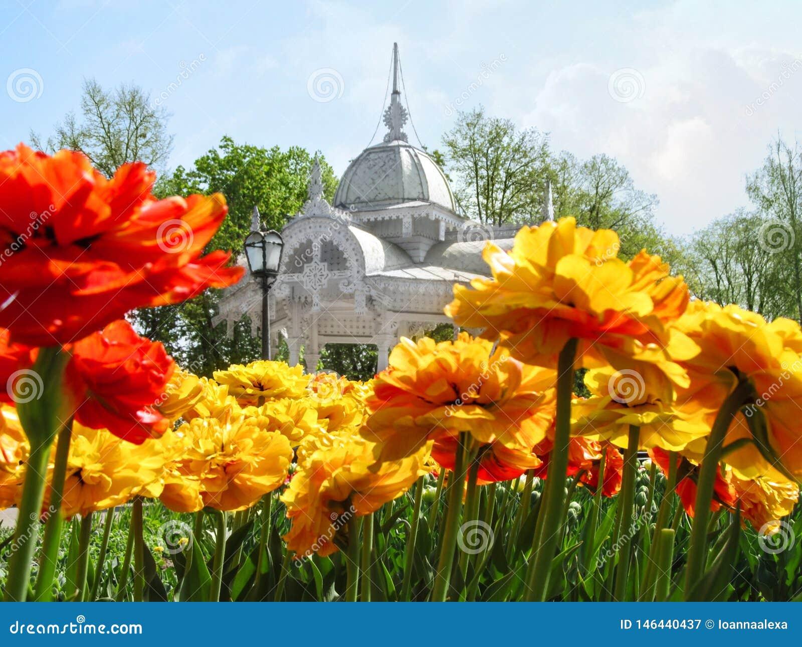 Un lit de fleur des tulipes jaune-rouges lumineuses de Terry dans la perspective d un beau vieil axe découpé dans la place de Pok