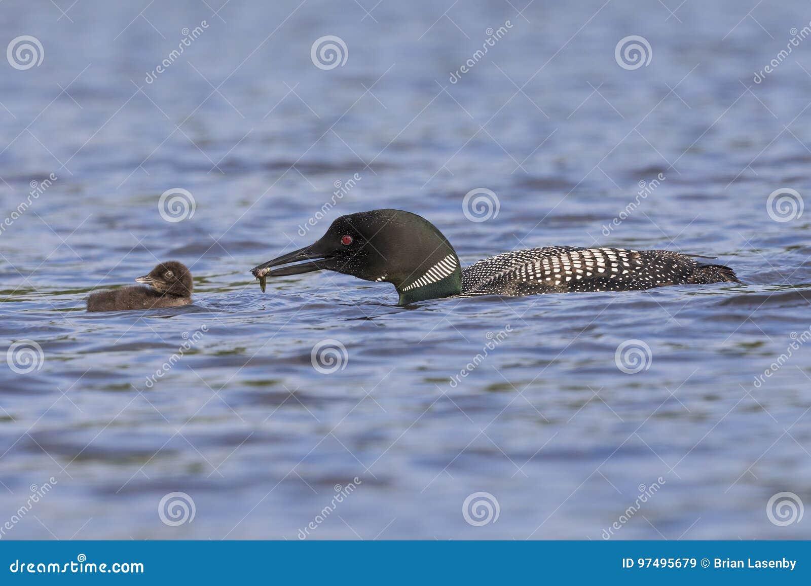 Un lunatico comune porta un pesce fresco al suo pulcino - Ontar