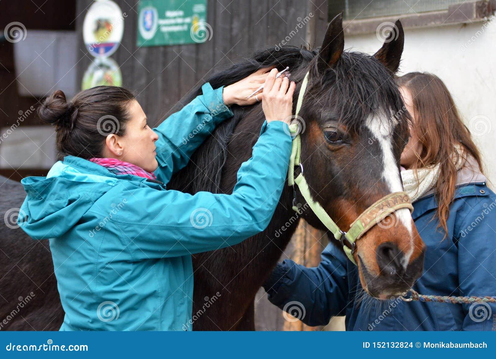 Un médico veterinario no médico que realiza un examen de la salud en un pequeño caballo