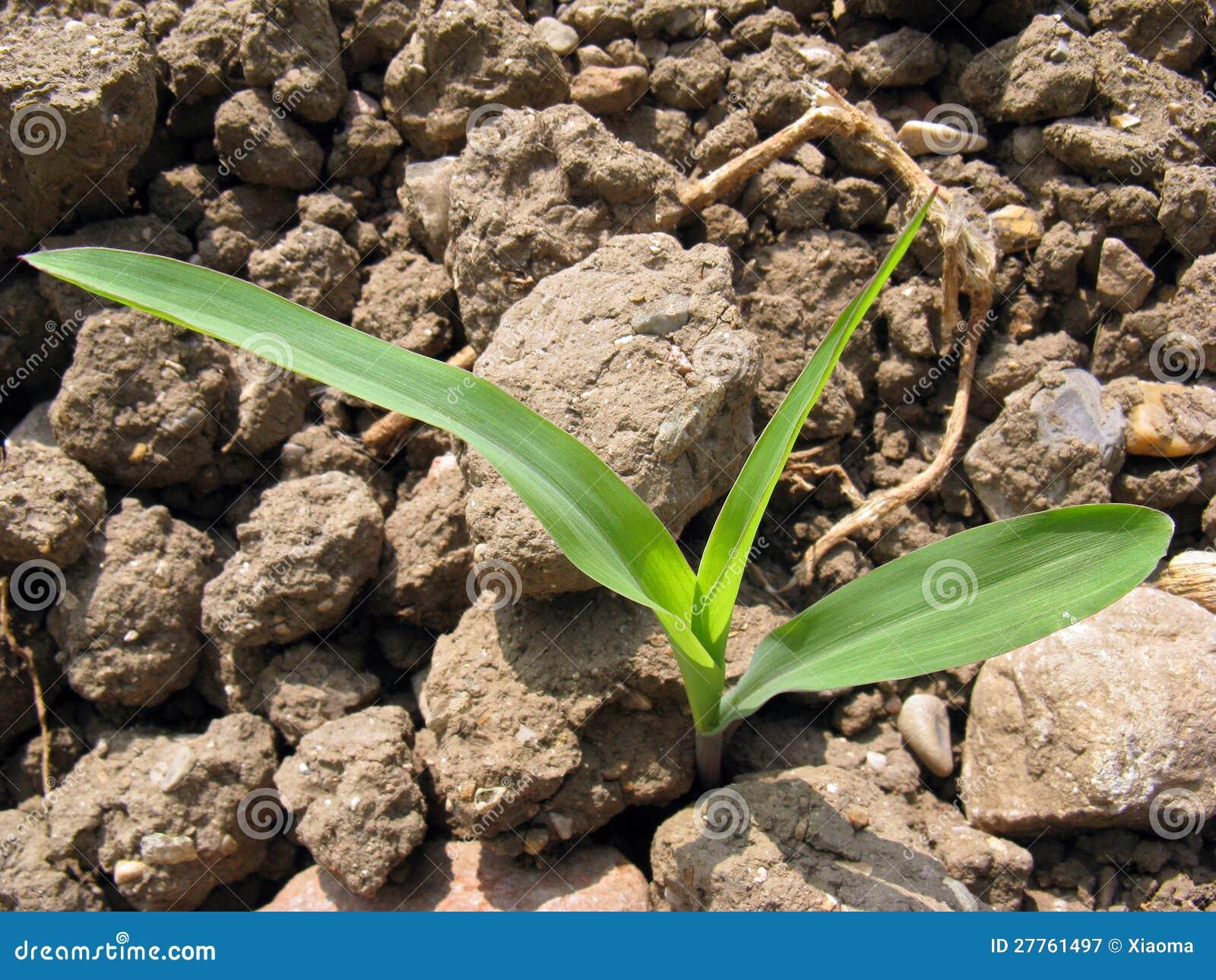 Un maïs de germination