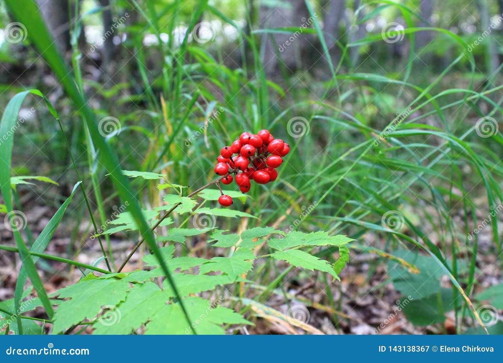 Un manojo de bayas rojas contra un contexto de las hierbas del bosque