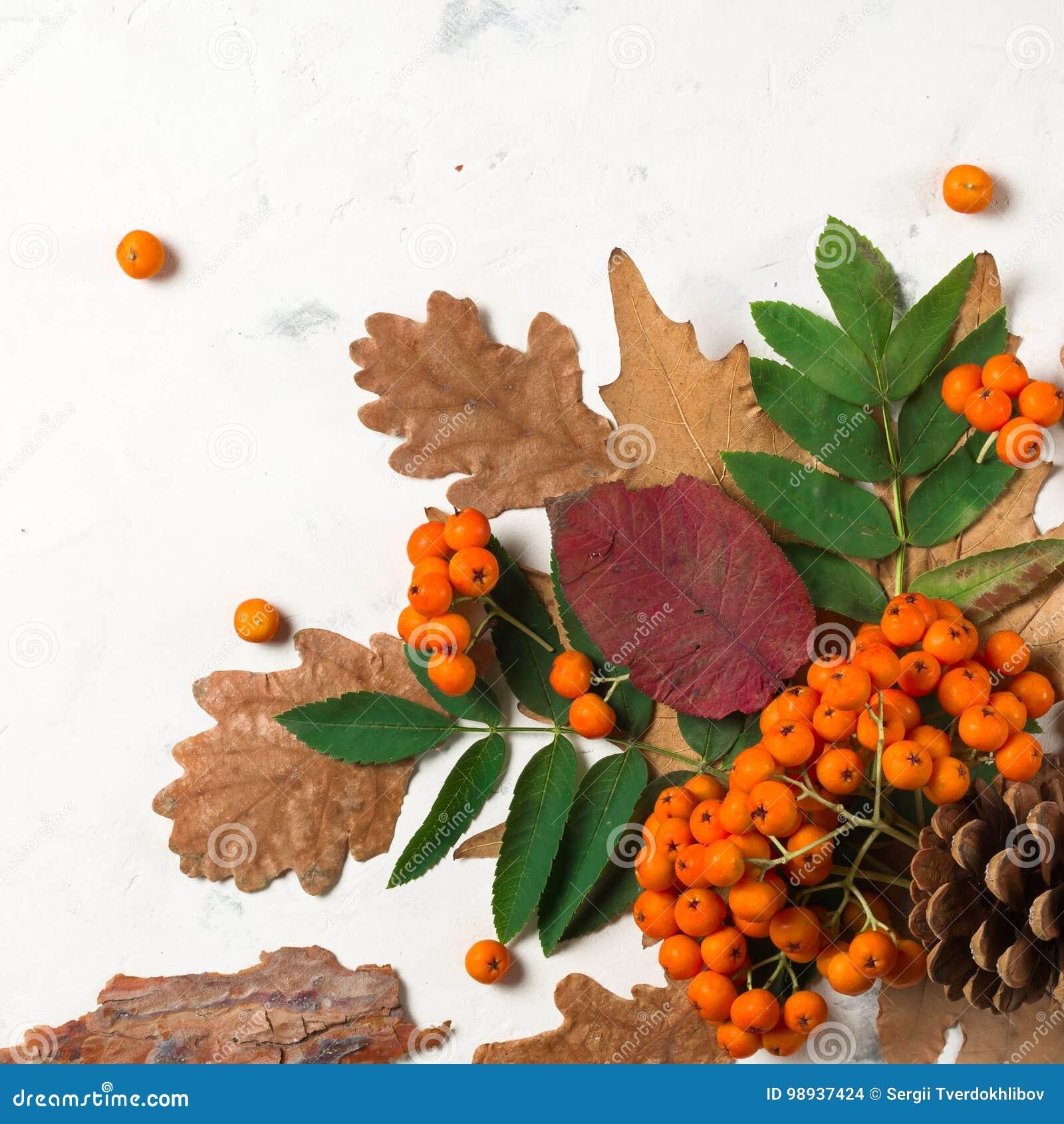 Un manojo de ceniza de montaña anaranjada madura con las hojas verdes Hojas secas del otoño Bayas negras Piedra o yeso blanca