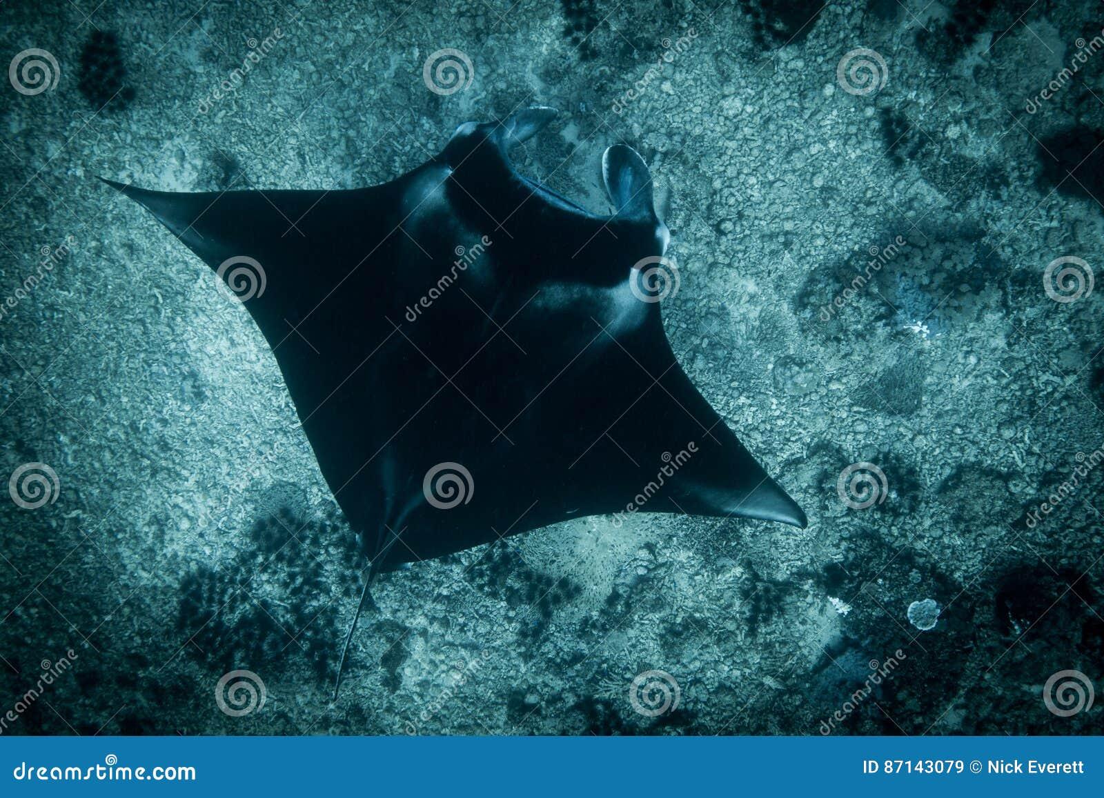 Un Manta Ray en el punto del manta