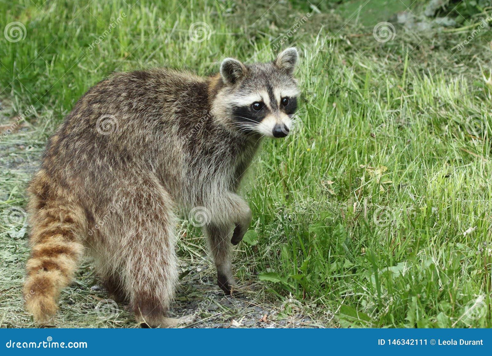 Un mapache en el rastro