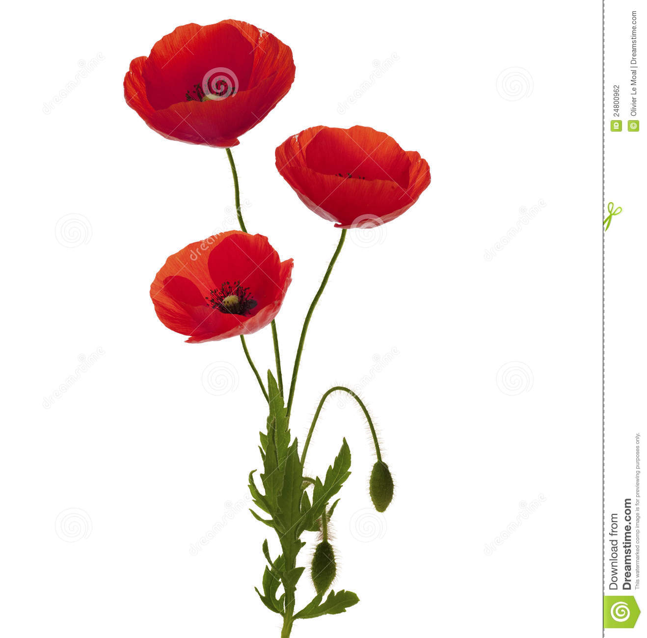 flower vase drawing designs with Fotografia Stock Un Mazzo Dei Tre Papaveri Image24800962 on 3d Flower Drawing 3d Flower Pencil Drawing Drawing Of Sketch as well Watch likewise Flower Pot Ideas Drawing Vase With Flowers Drawings For Kids in addition 375d219ce3 likewise Watch.