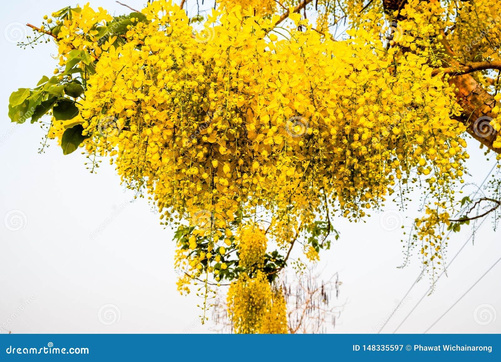 Un mazzo di fiore dorato giallo della doccia contro fondo bianco luminoso