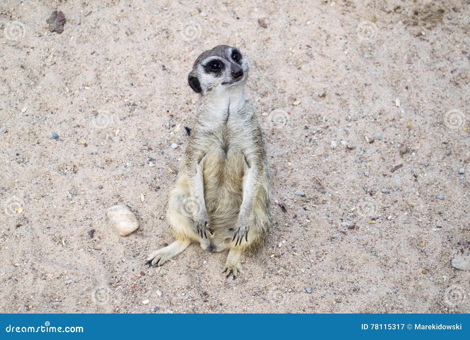 Un meerkat - habitant du désert