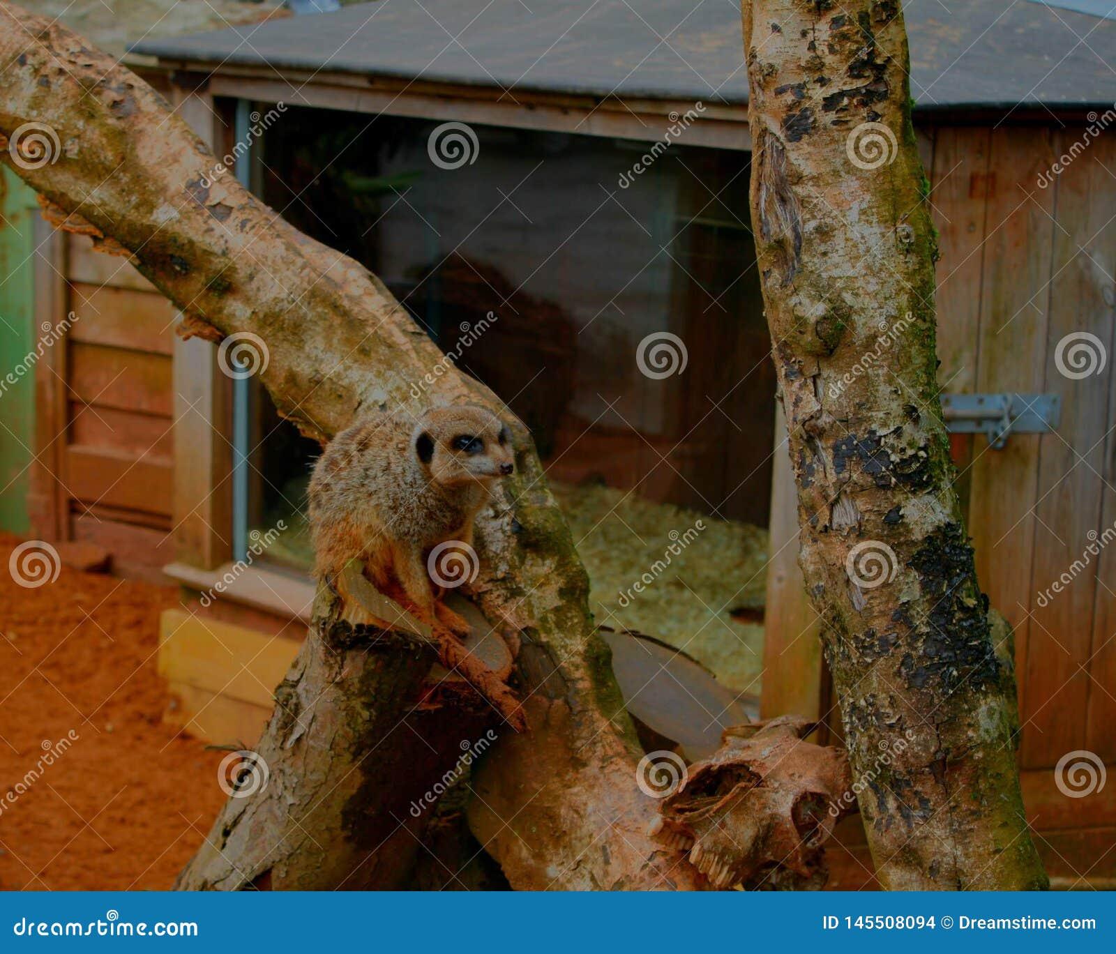 Un meerkat que se sienta en una rama de árbol