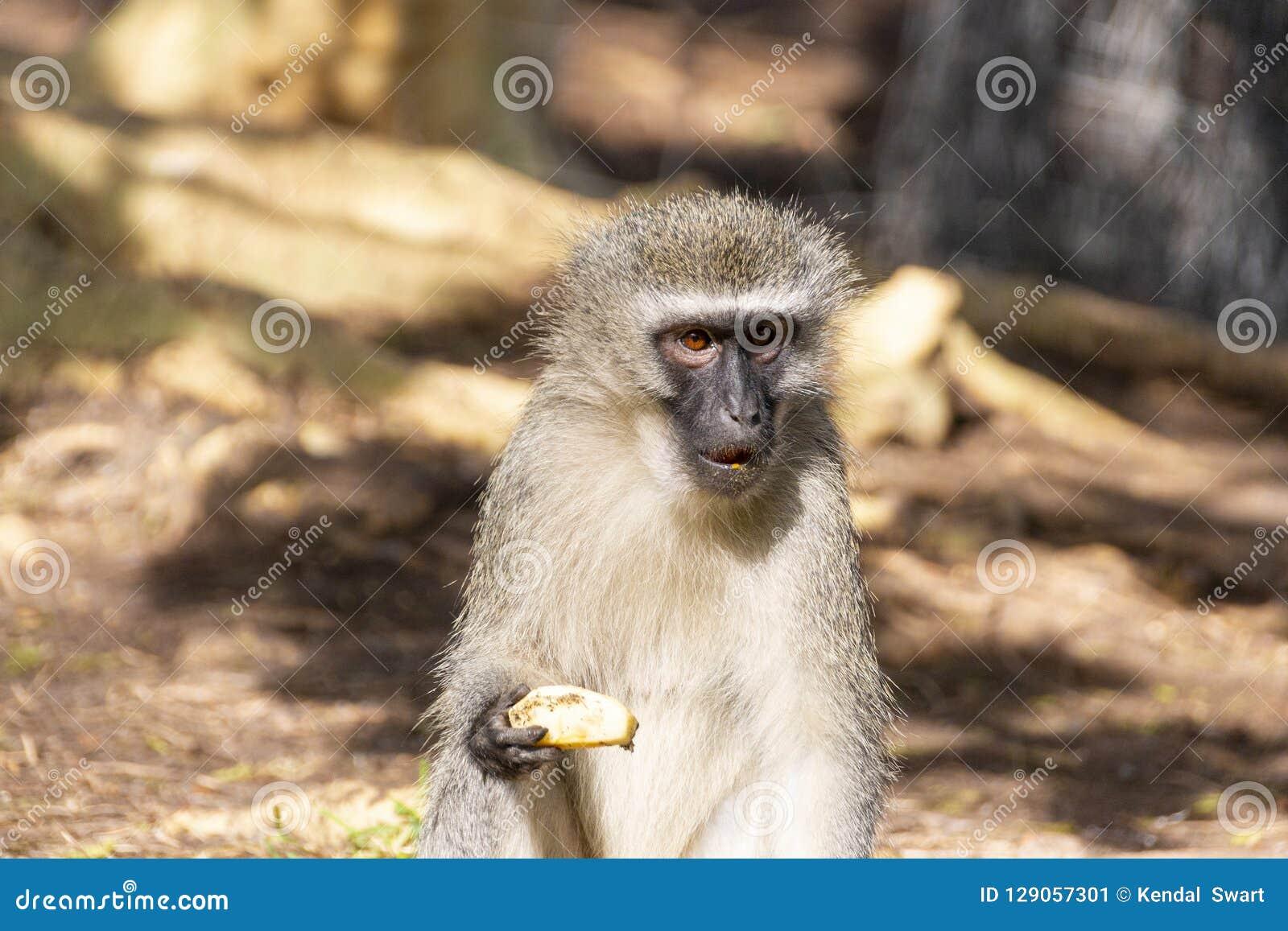 Un mono de Vervet
