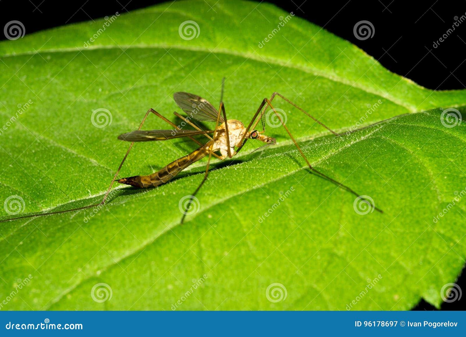 Un mosquito palúdico grande se sienta en una hoja verde Macro