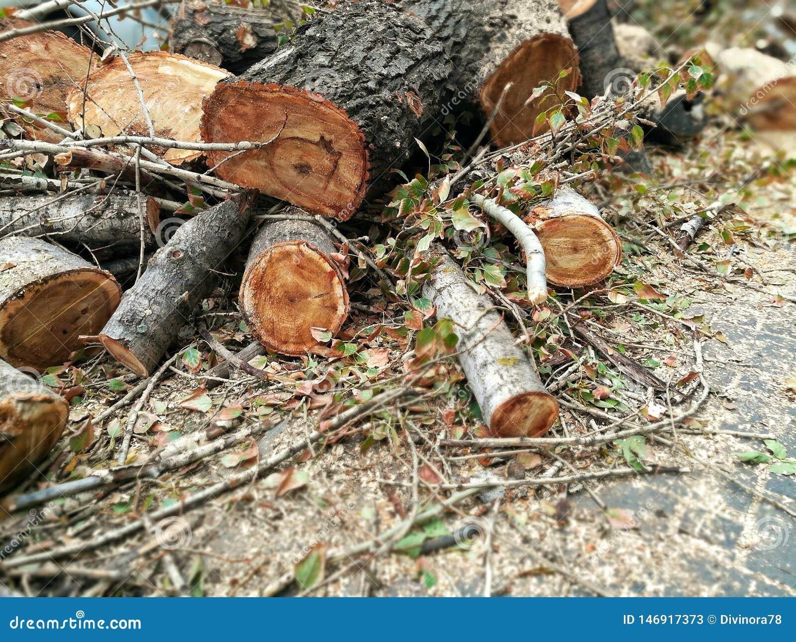 Un mucchio dei tronchi abbattuti di vecchi alberi