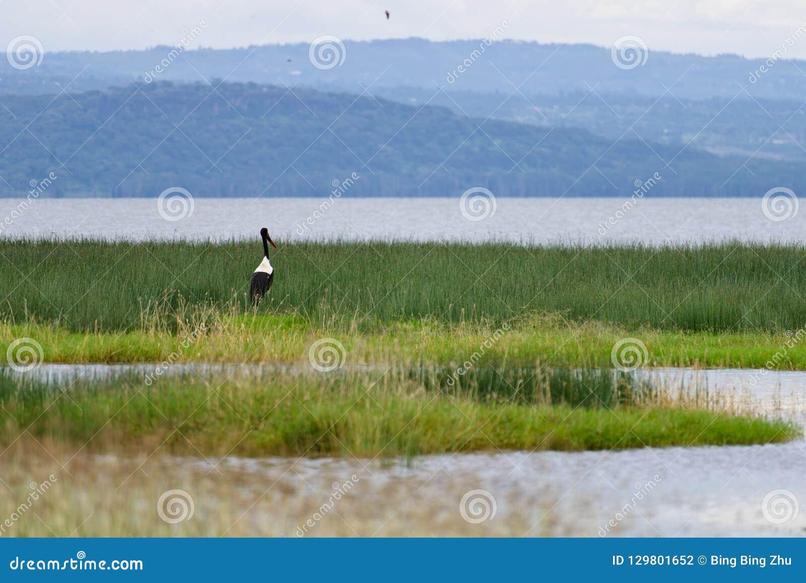Un naer giallo della cicogna del becco la zona umida