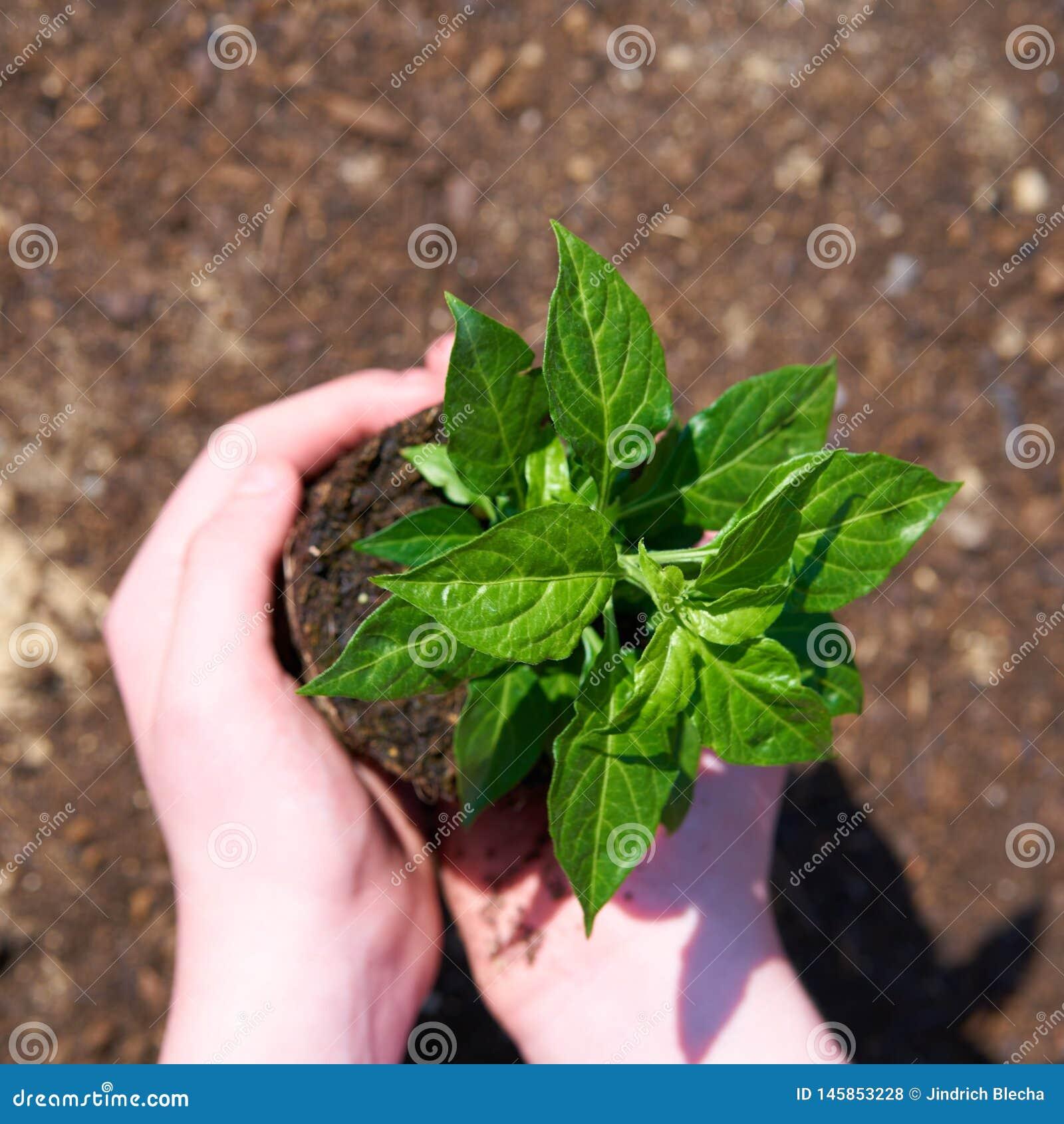 Un niño con la pequeña planta verde