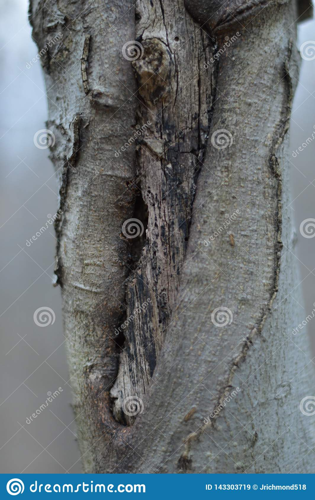 Un noeud tordu d un arbre