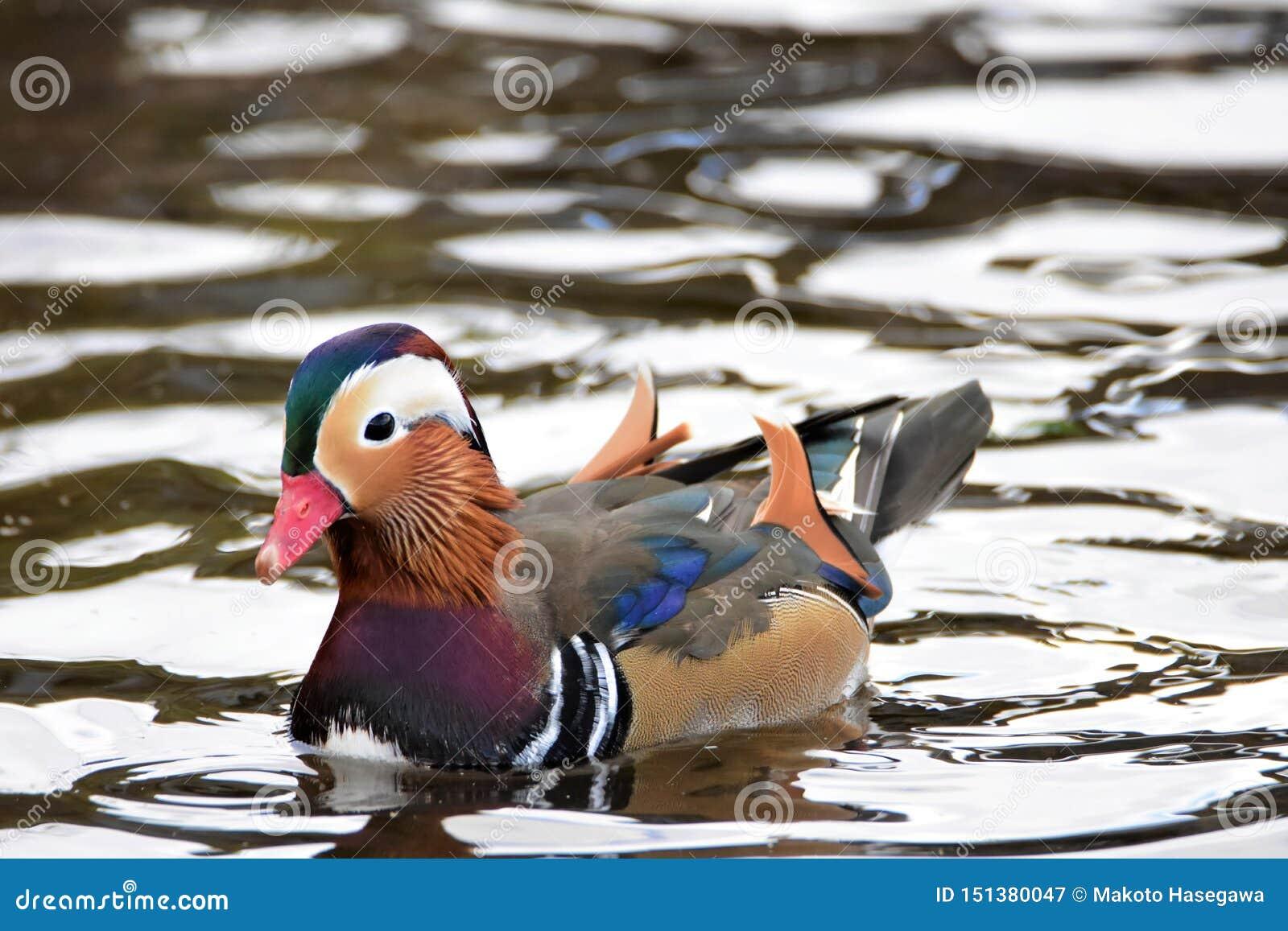 Un nuoto maschio dell anatra di mandarino sul lago